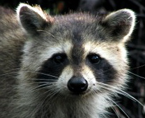 raccoon-300x225